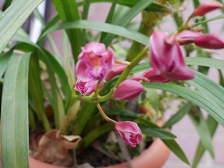 シンビジウムの花が咲いた。2021年-005.jpg