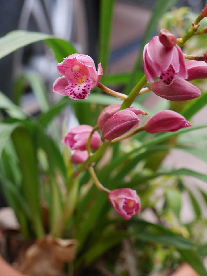 シンビジウムの花が咲いた。2021年-015.jpg