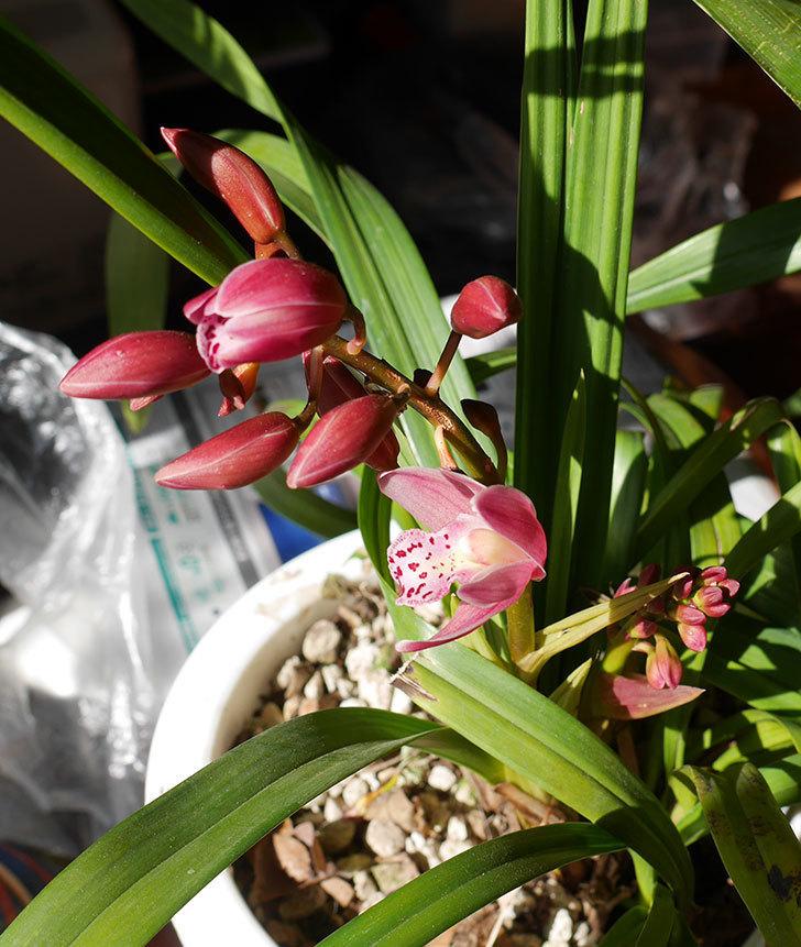 シンビジウムの花が咲きだした。2020年-4.jpg