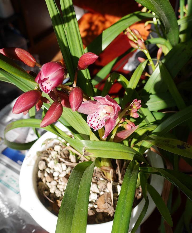 シンビジウムの花が咲きだした。2020年-7.jpg