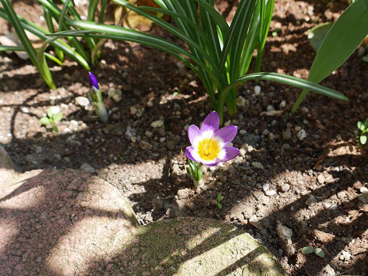 シーベリートリカラー(クロッカス)の花が咲いた。2019年-3.jpg