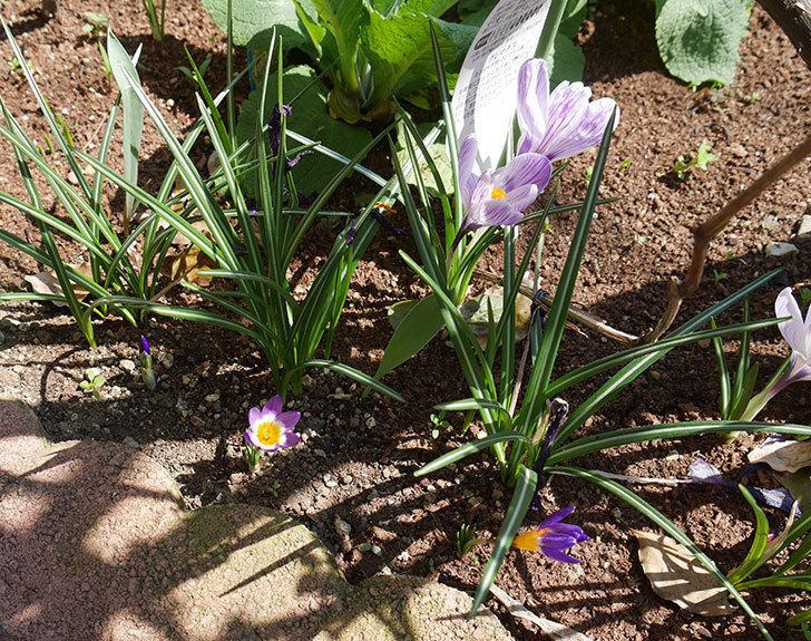 シーベリートリカラー(クロッカス)の花が咲いた。2019年-5.jpg
