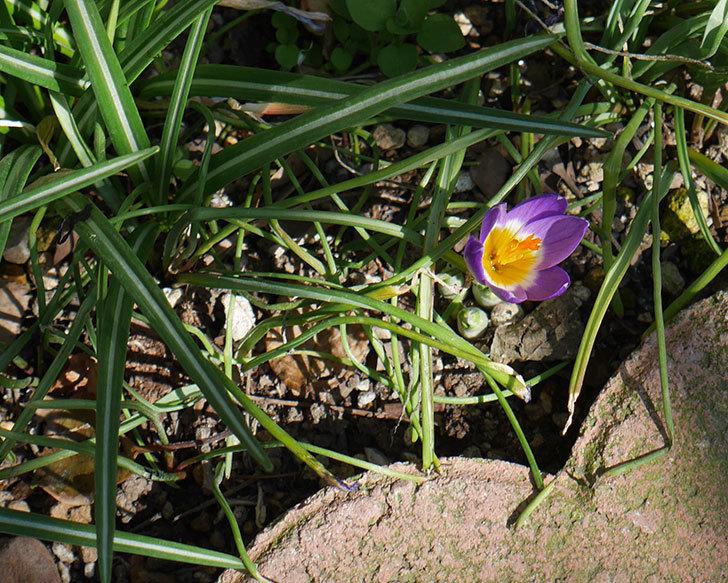シーベリートリカラー(クロッカス)の花が咲いた。2019年-7.jpg