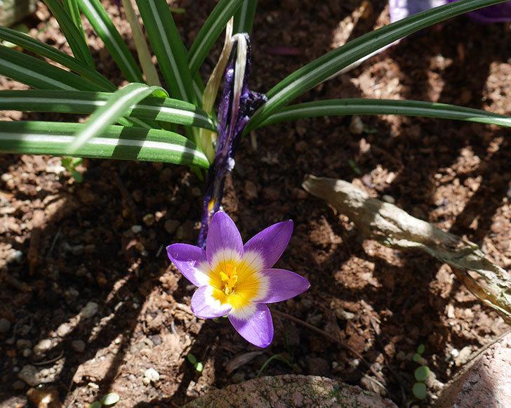 シーベリートリカラー(クロッカス)の花が咲いた。2019年-8.jpg