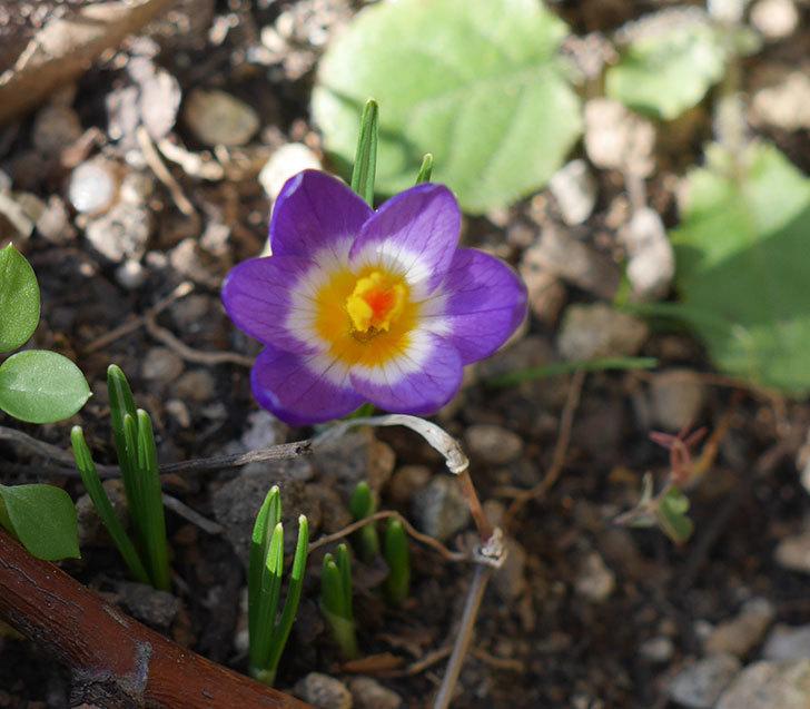 シーベリートリカラー(クロッカス)の花が咲いた。2020年-1.jpg