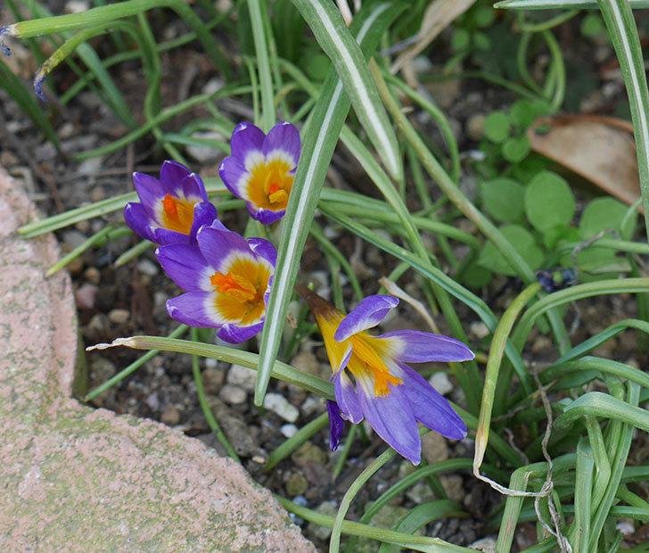 シーベリートリカラー(クロッカス)の花が増えて来た。2019年-1.jpg