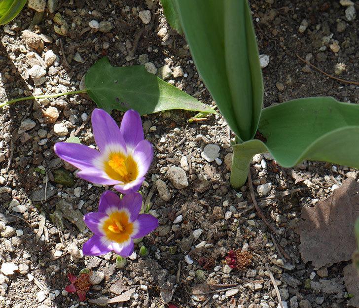 シーベリートリカラー(クロッカス)の花が増えて来た。2019年-10.jpg