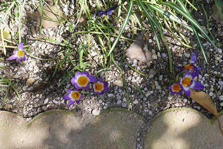 シーベリートリカラー(クロッカス)の花が増えて来た。2019年-2.jpg