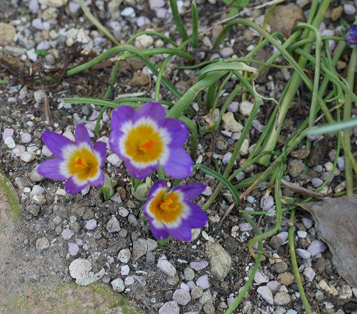 シーベリートリカラー(クロッカス)の花が増えて来た。2019年-3.jpg