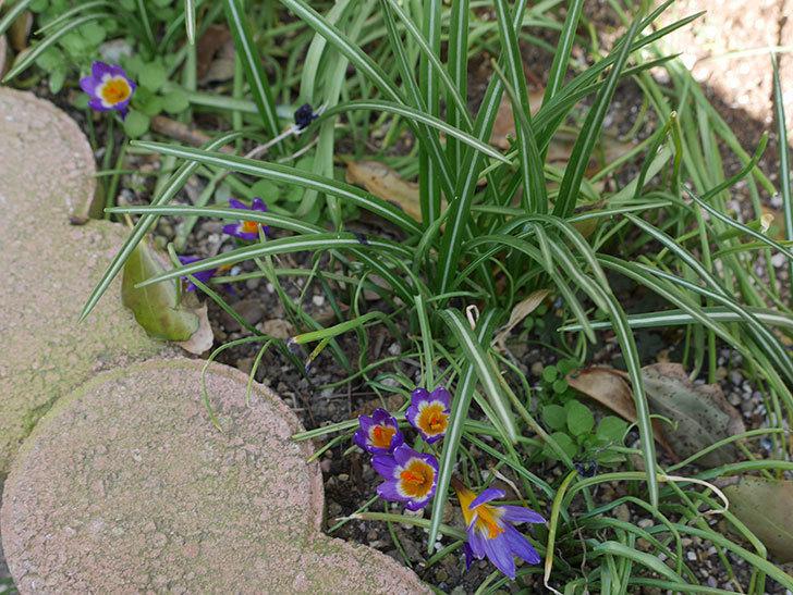 シーベリートリカラー(クロッカス)の花が増えて来た。2019年-4.jpg