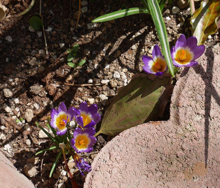 シーベリートリカラー(クロッカス)の花が増えて来た。2019年-5.jpg
