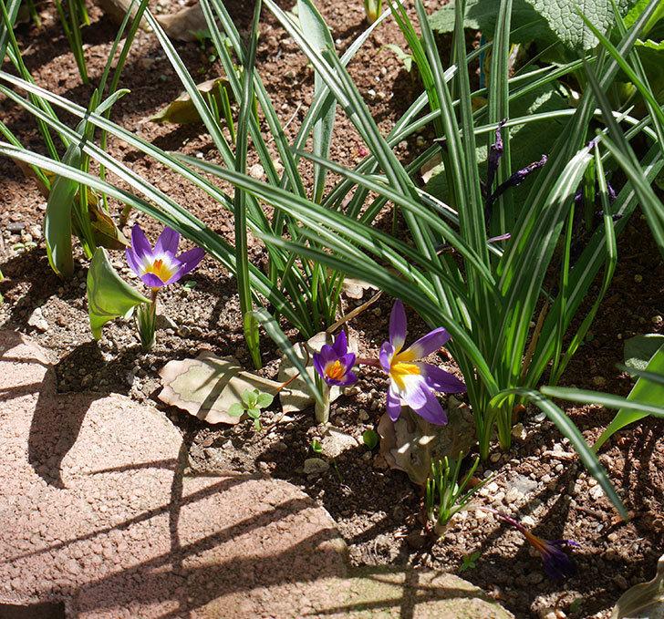 シーベリートリカラー(クロッカス)の花が増えて来た。2019年-6.jpg