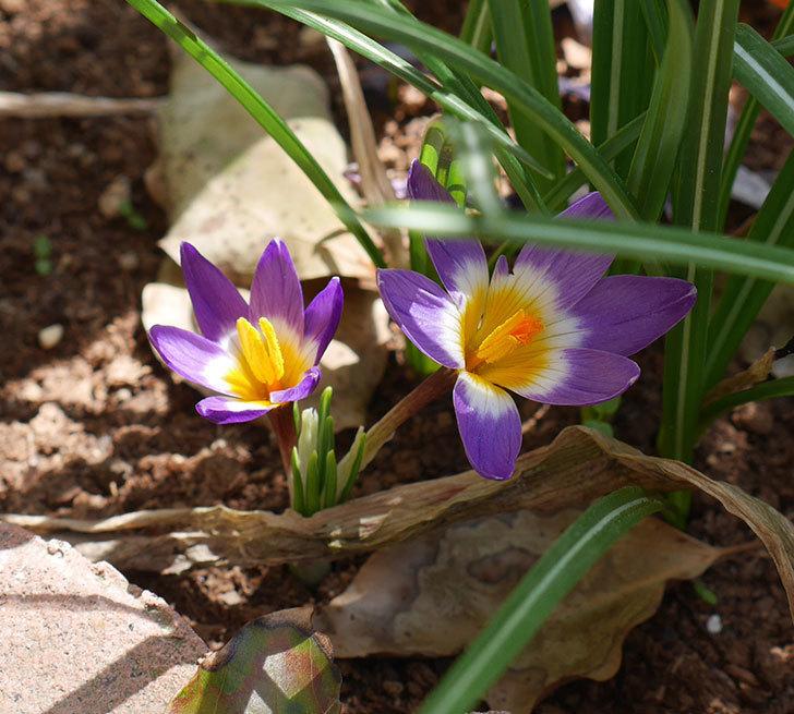 シーベリートリカラー(クロッカス)の花が増えて来た。2019年-7.jpg