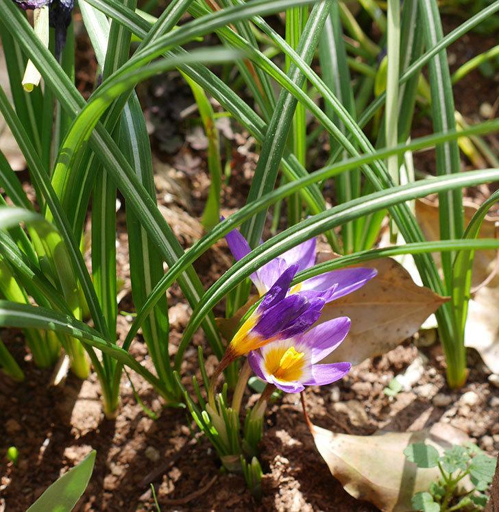 シーベリートリカラー(クロッカス)の花が増えて来た。2019年-8.jpg