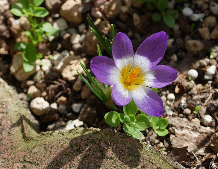 シーベリートリカラー(クロッカス)の花が増えて来た。2020年-4.jpg