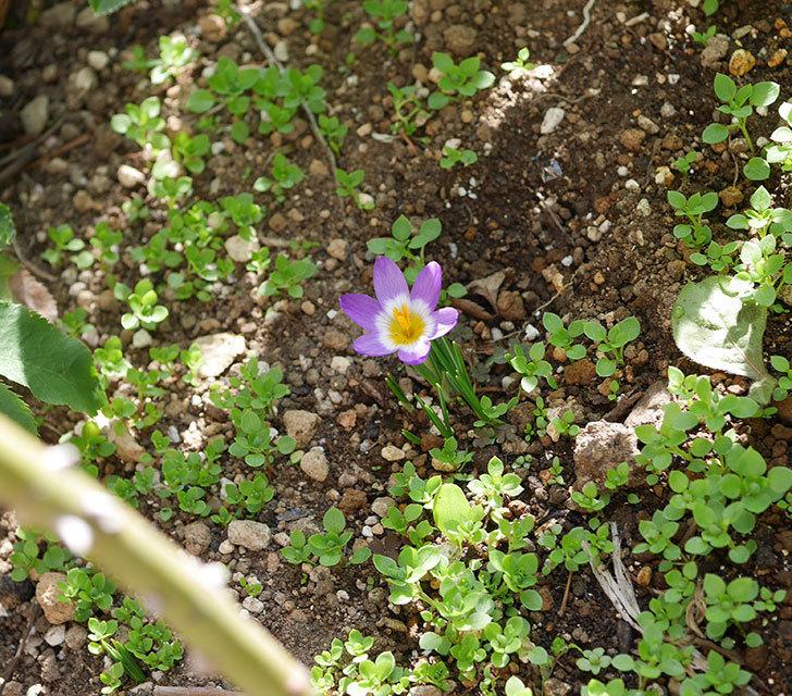 シーベリートリカラー(クロッカス)の花が増えて来た。2020年-5.jpg
