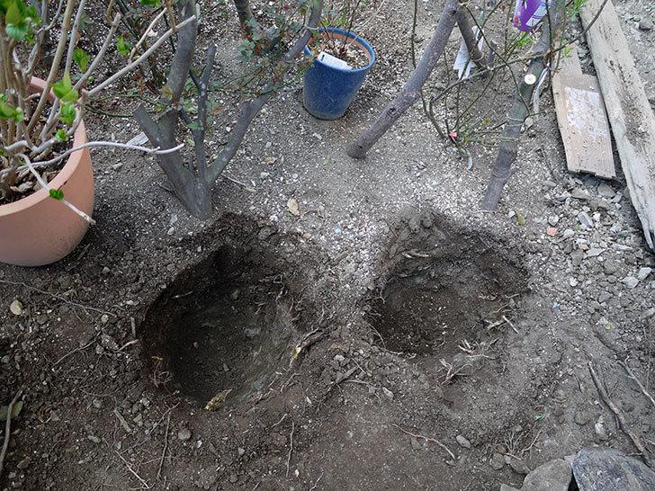 ジェニー・カディック(クレマチス)を地植えした。2017年-4.jpg