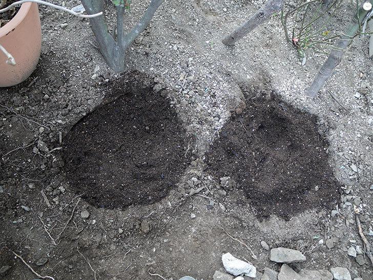 ジェニー・カディック(クレマチス)を地植えした。2017年-7.jpg