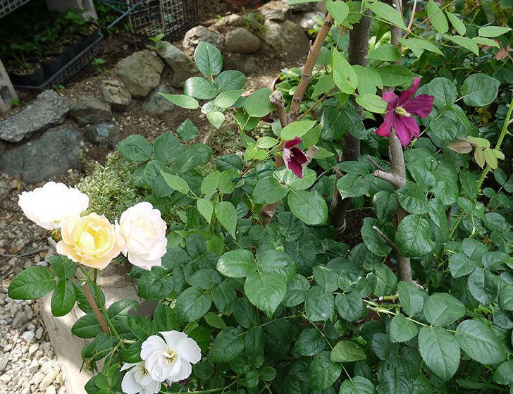 ジェニー・カディック(ビチセラ系、新枝咲き)の花が咲きだした。2017年-10.jpg