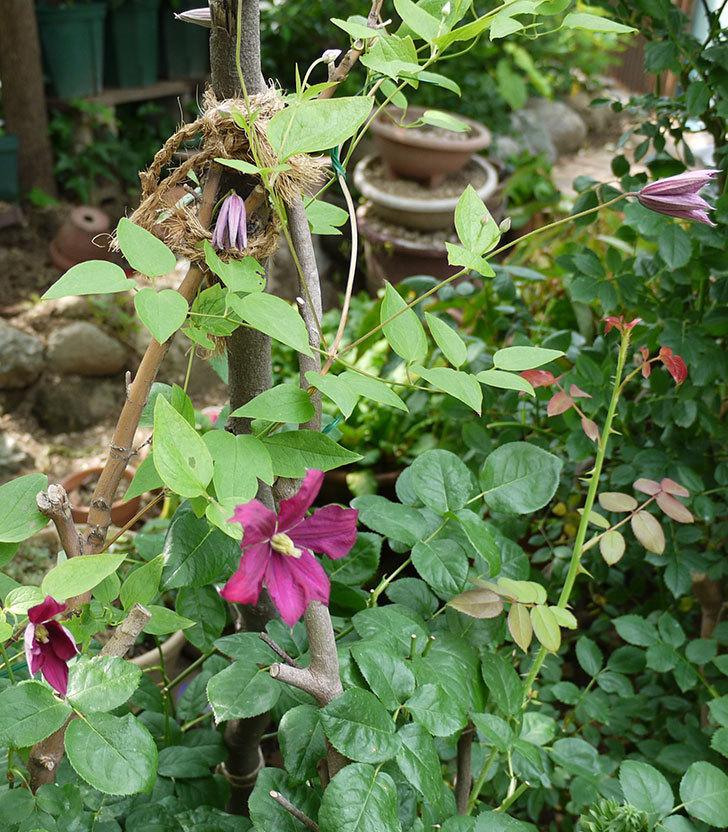 ジェニー・カディック(ビチセラ系、新枝咲き)の花が咲きだした。2017年-11.jpg