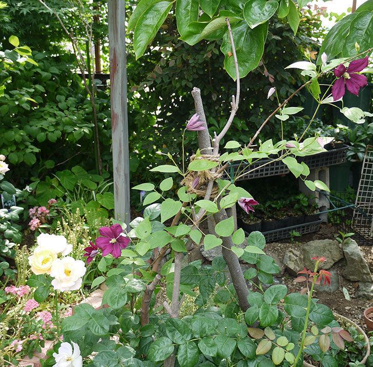 ジェニー・カディック(ビチセラ系、新枝咲き)の花が咲きだした。2017年-2.jpg
