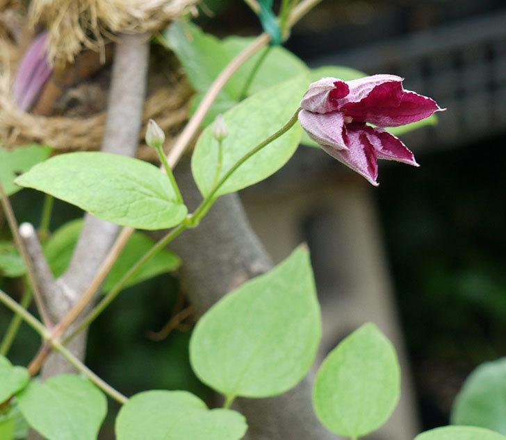 ジェニー・カディック(ビチセラ系、新枝咲き)の花が咲きだした。2017年-6.jpg