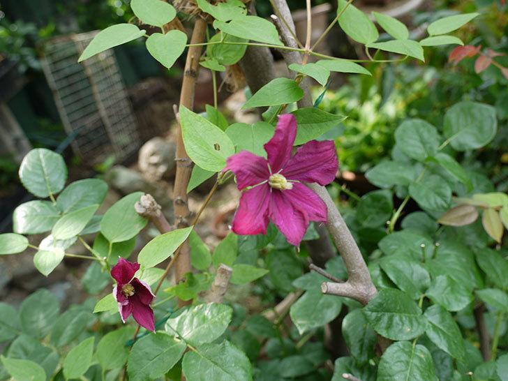 ジェニー・カディック(ビチセラ系、新枝咲き)の花が咲きだした。2017年-7.jpg