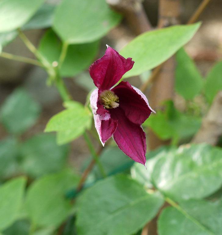 ジェニー・カディック(ビチセラ系、新枝咲き)の花が咲きだした。2017年-9.jpg