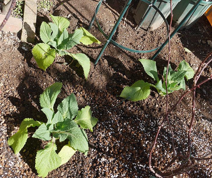 ジギタリス-キャメロット-クリームの苗残り3個を地植えにした。2020年-9.jpg