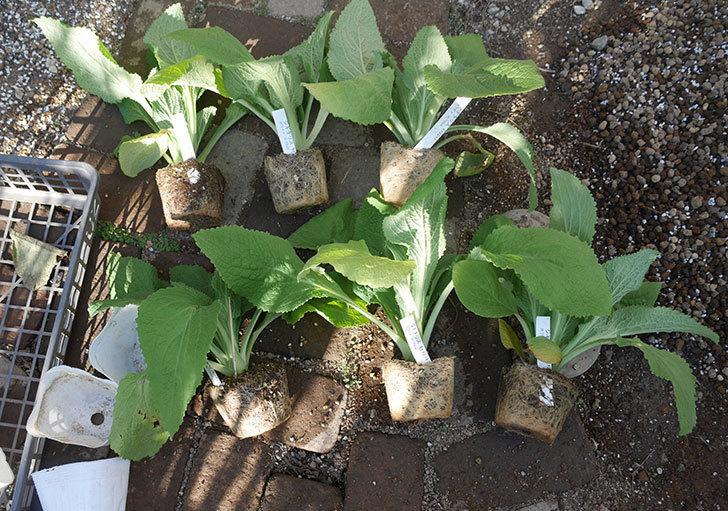 ジギタリス-キャメロット-ホワイトの苗6個を地植えにした。2020年-1.jpg