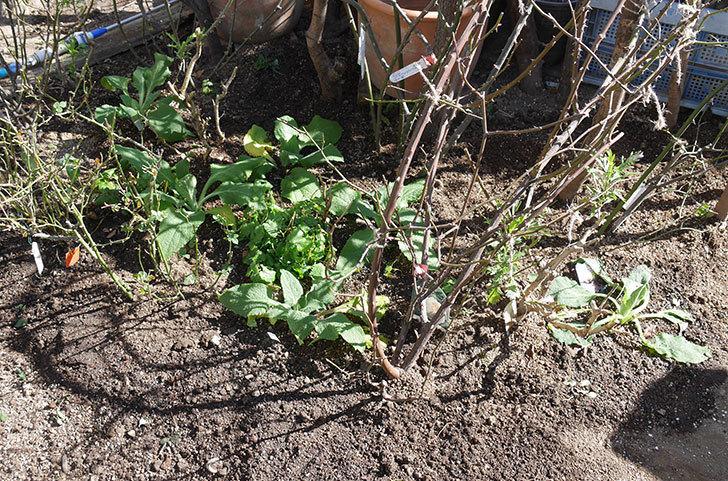 ジギタリス-キャメロット-ラベンダーの苗6個を地植えにした。2020年-3.jpg