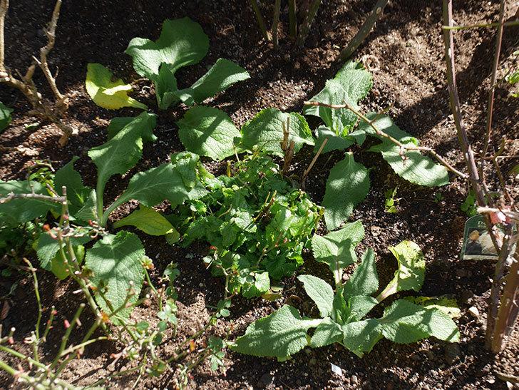 ジギタリス-キャメロット-ラベンダーの苗6個を地植えにした。2020年-5.jpg