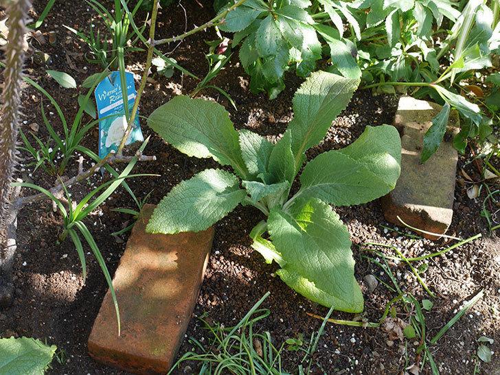 ジギタリス-キャメロット-ローズの苗6個を地植えにした。2020年-17.jpg