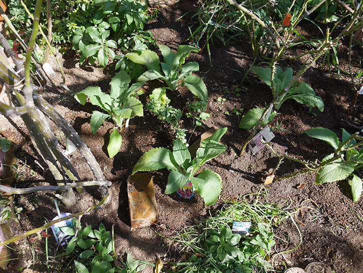 ジギタリス-キャメロット-ローズの苗6個を地植えにした。2020年-7.jpg