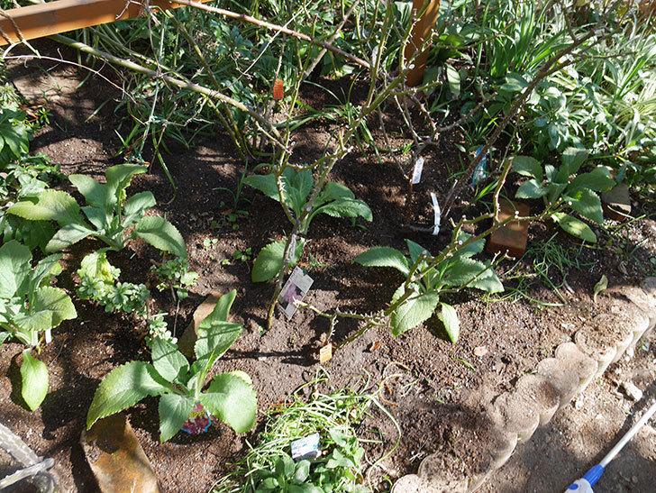 ジギタリス-キャメロット-ローズの苗6個を地植えにした。2020年-8.jpg