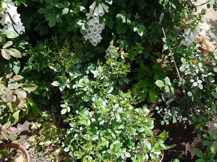 ジギタリス-ダルメシアン-ピーチの花がたくさん咲いた。2017年-11.jpg