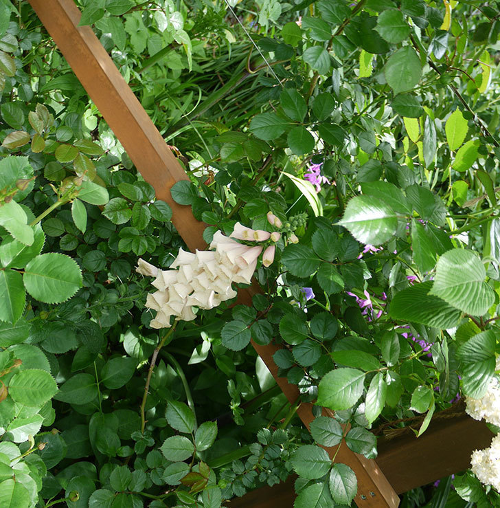 ジギタリス-ダルメシアン-ピーチの花がたくさん咲いた。2017年-3.jpg