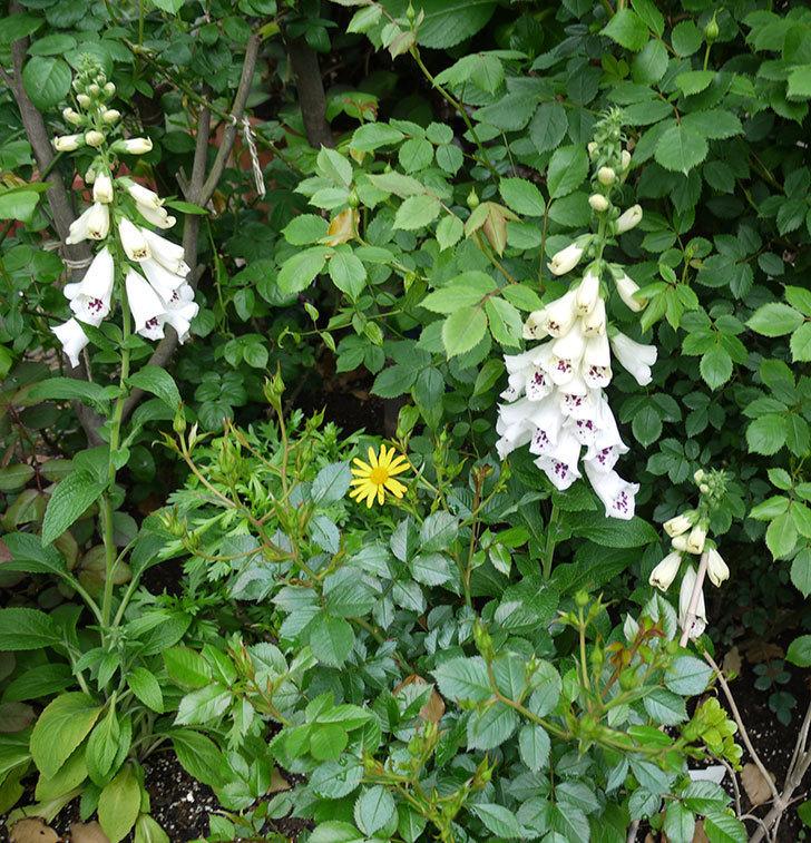 ジギタリス-ダルメシアンの花が増えてきた。2017年-3.jpg