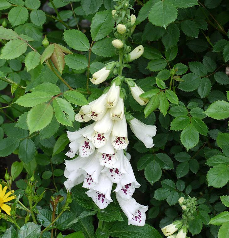 ジギタリス-ダルメシアンの花が増えてきた。2017年-4.jpg