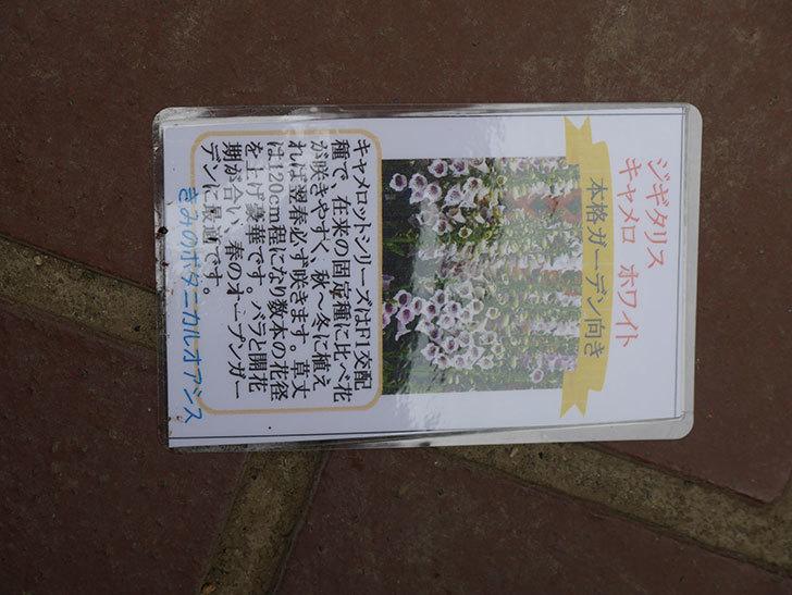 ジギタリス キャメロット ホワイトとラベンダーの苗買った。2021年-009.jpg
