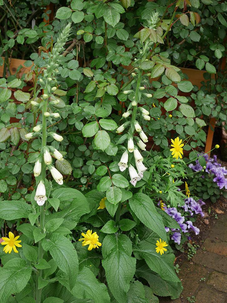 ジギタリス キャメロット ラベンダーの花が咲いた。2021年-016.jpg