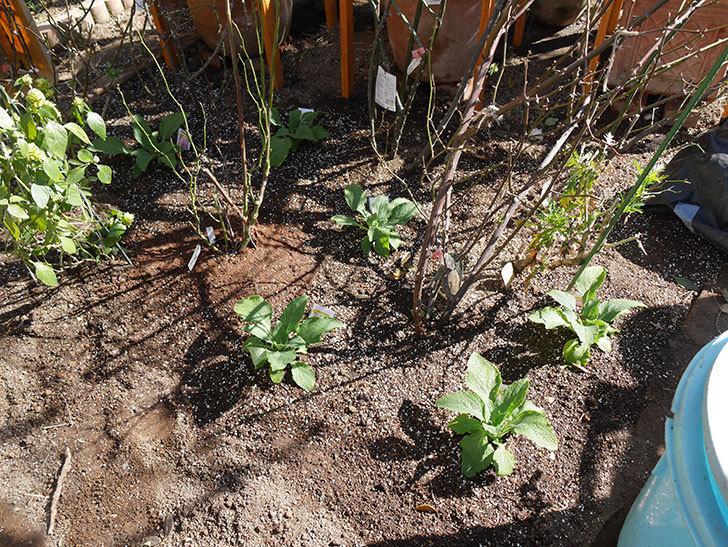 ジギタリス キャメロット ラベンダーの苗を6株を地植えした。2021年-017.jpg