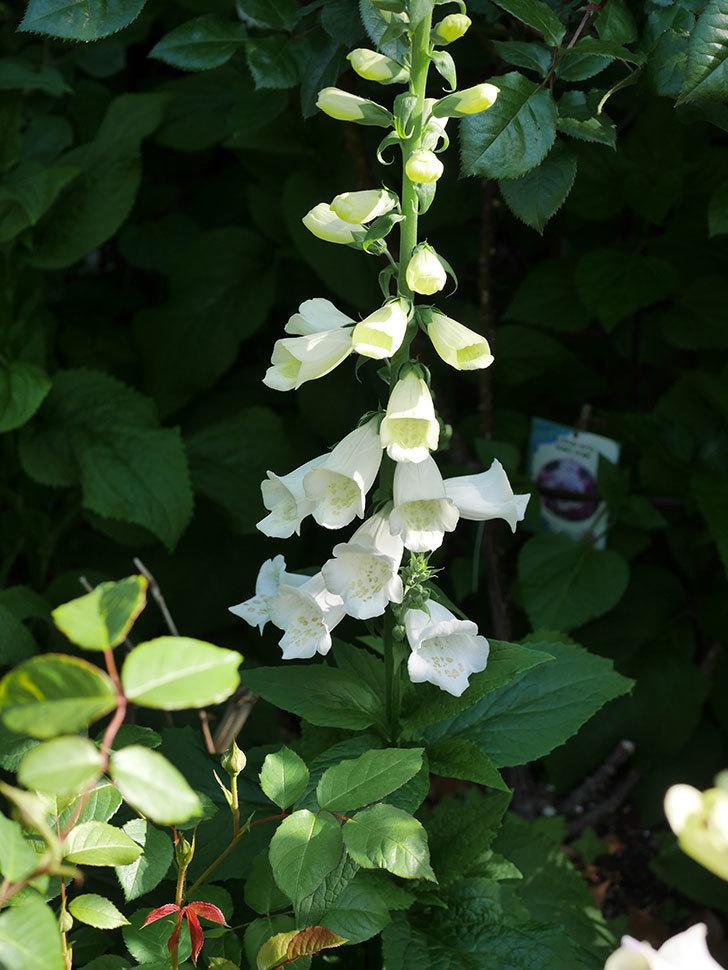 ジギタリス キャメロットの花が増えてきた咲いた。2021年-006.jpg