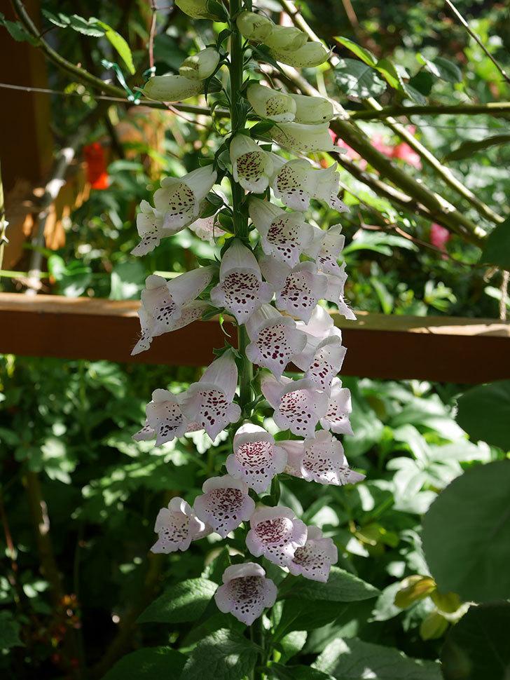 ジギタリス キャメロットの花が増えてきた咲いた。2021年-029.jpg