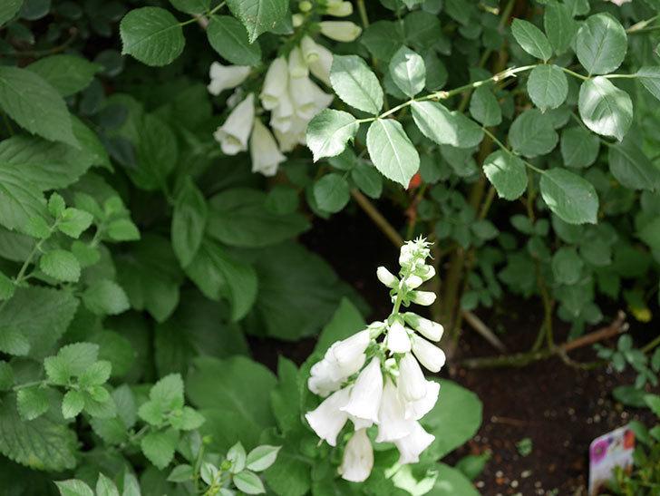 ジギタリスの花が咲いた。2018年-6.jpg