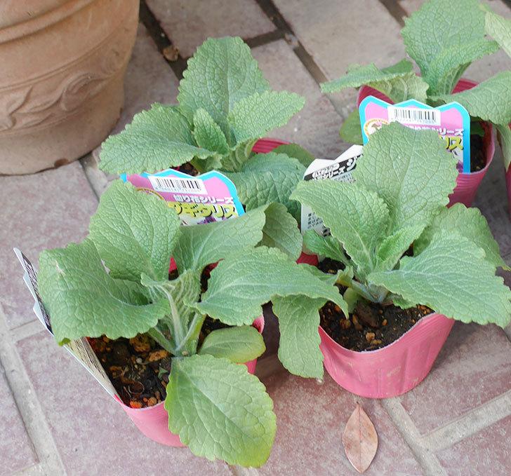 ジギタリスの苗を18個買ってきた。2019年-2.jpg