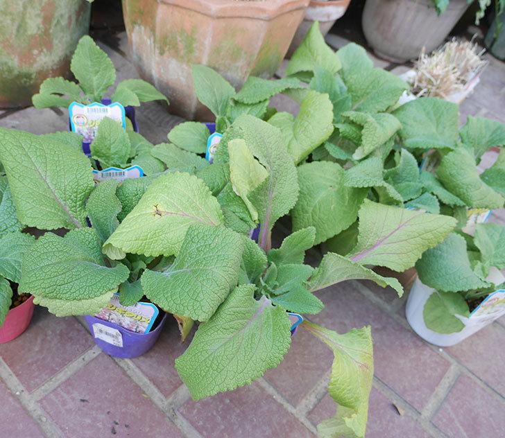 ジギタリスの苗を18個買ってきた。2019年-3.jpg