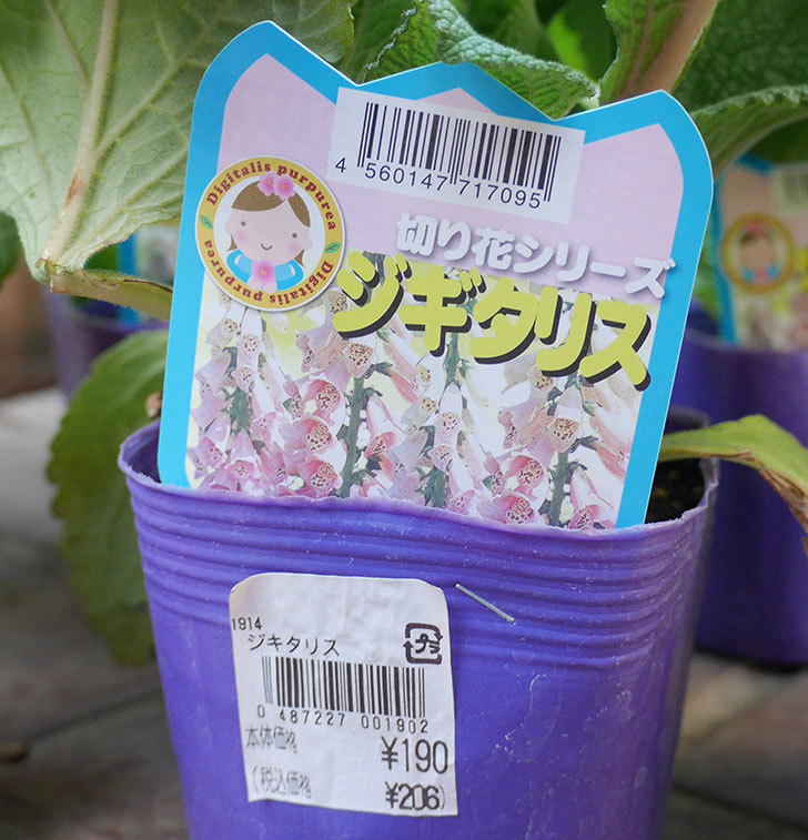 ジギタリスの苗を18個買ってきた。2019年-5.jpg