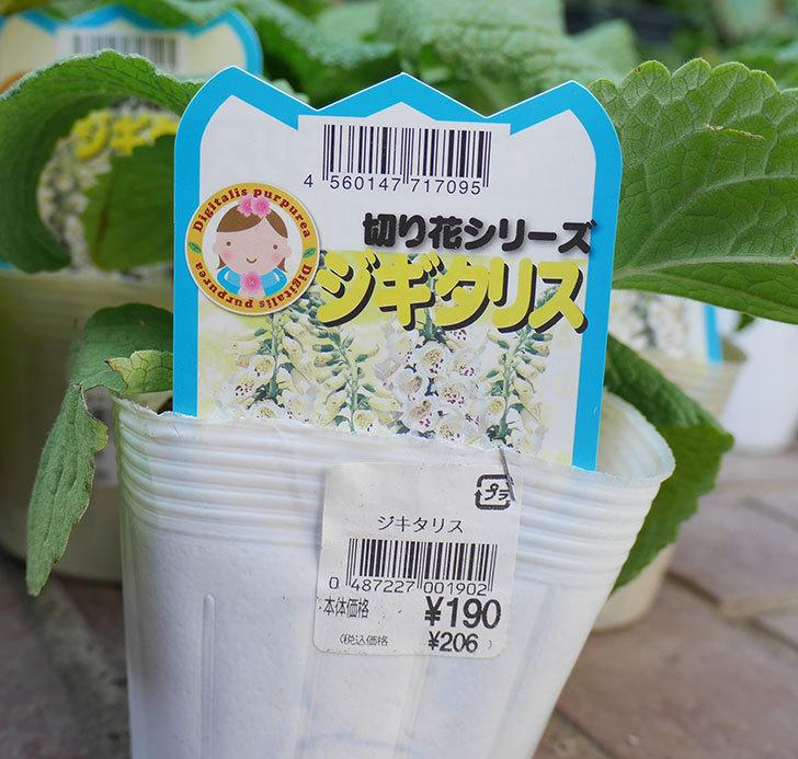 ジギタリスの苗を18個買ってきた。2019年-6.jpg