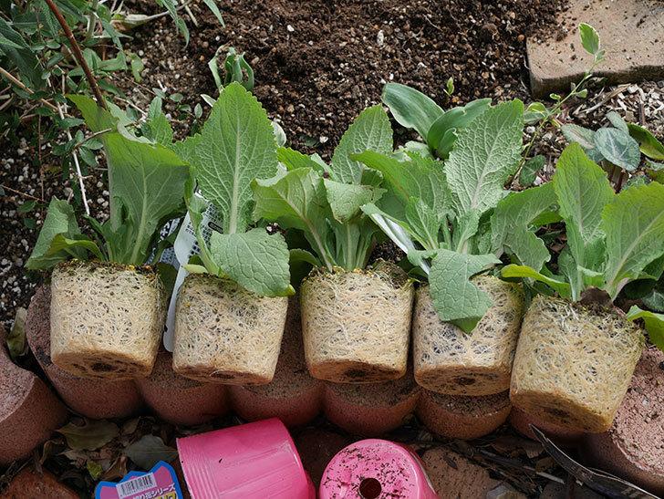 ジギタリスの苗を5個を地植えした。2020年-1.jpg